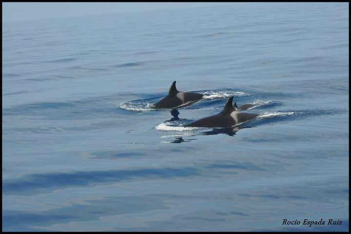 Fotografía de dos orcas