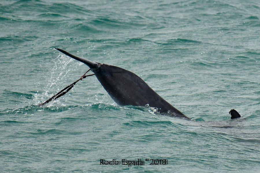 Tursiops truncatus entanglement Bahía de Algeciras