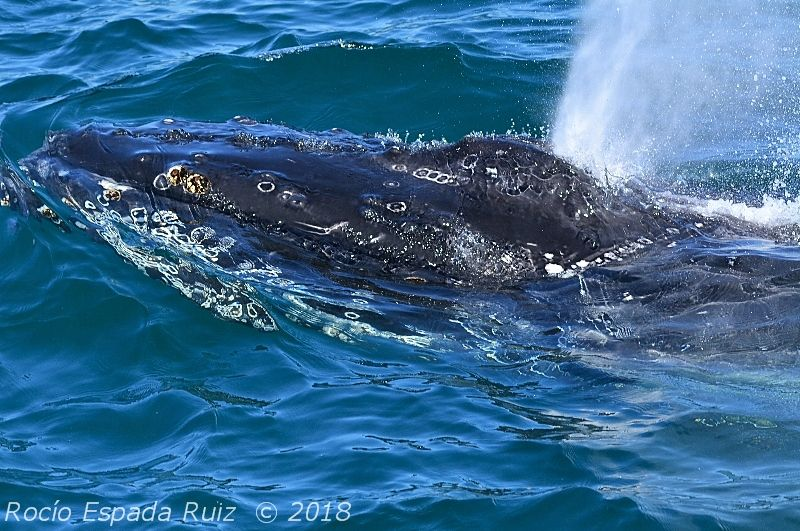 Fotografia de una ballena jorobada o yubarta en la bahia de Algeciras